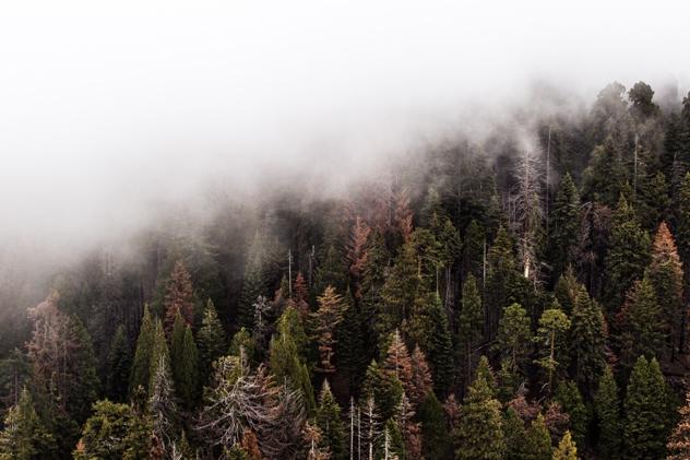 Trees In Fog 001