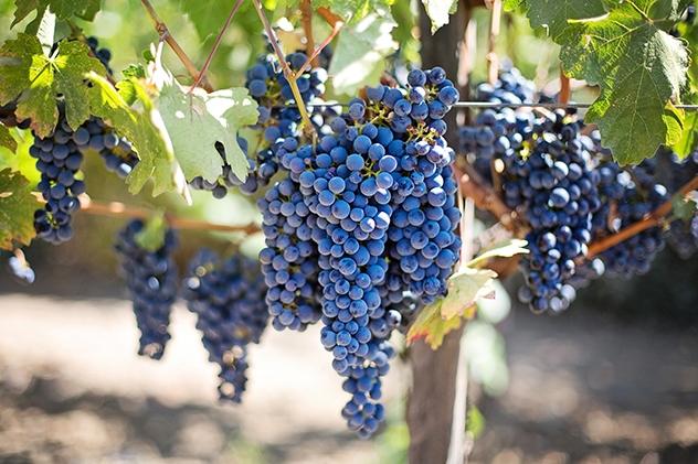 Napa Grapes 001