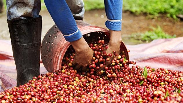 Coffee Cherries 001