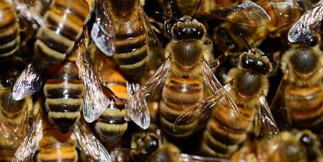 Honey Bees 001
